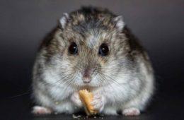hamster-manger