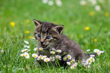 chat-miaule