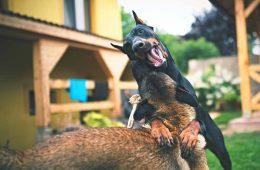 chien-museliere
